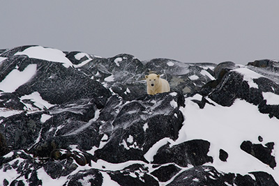 polar bear on ancient rock formation