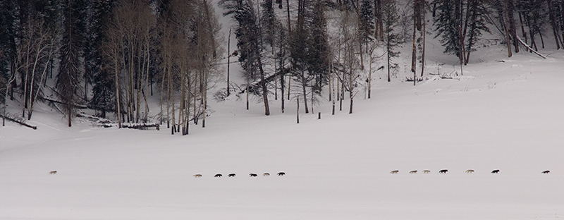 14 druid wolves in the lamar valley