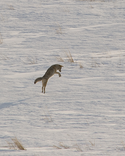 coyote jumping and hunting